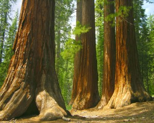 Mariposa Grove's Giant Sequoias